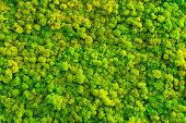 Moss background made of reindeer lichen Cladonia rangiferina, mossy texture spring green.
