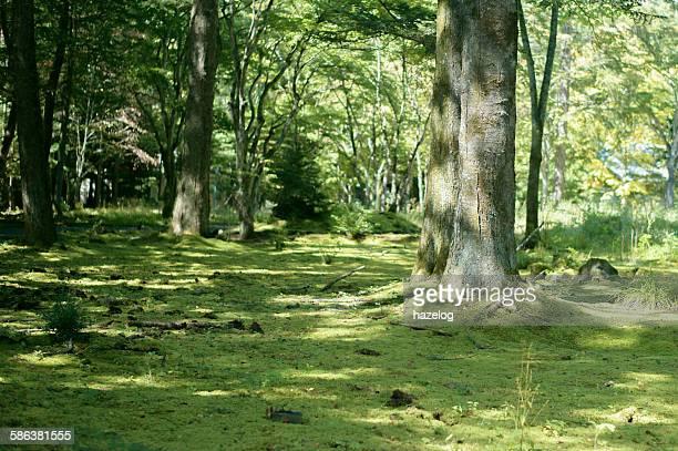 Moss carpets The calm woodland scene