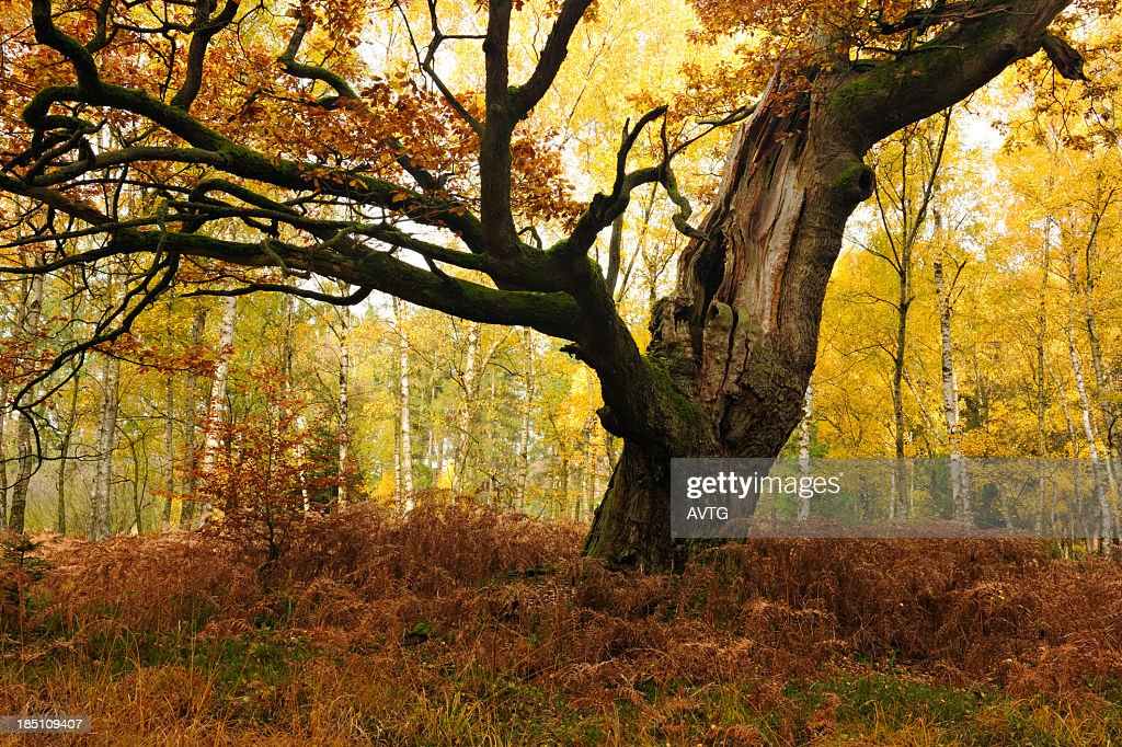 Moss Covered Ancient Hollow Oak Tree in Autumn Forest