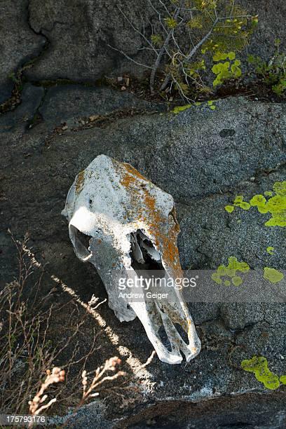 Moss covered cow skull on rocks.