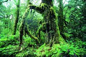 Moss covered tree, West Coast, South Island, New Zealand