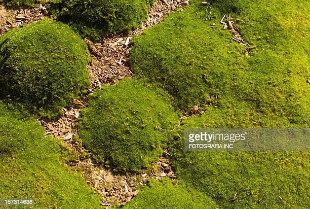 Moss détail