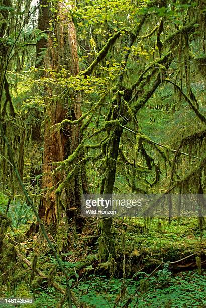 Moss draperies on vine maple in temperate rainforest of the Pacific Northwest Acer circinatum Sitka spruce visible behind vine maple Spruce Nature...