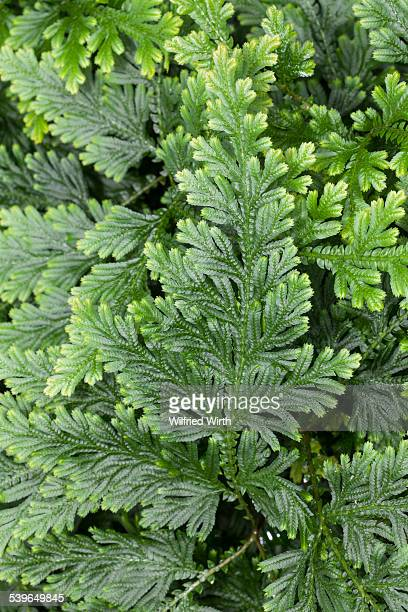 Moss Fern -Selaginella haematodes-, deposits in Ecuador, Venezuela