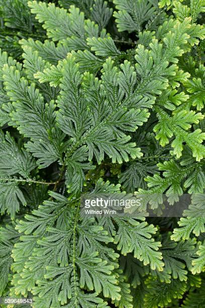 Moss Fern -Selaginella haematodes-, native to Ecuador, Venezuela