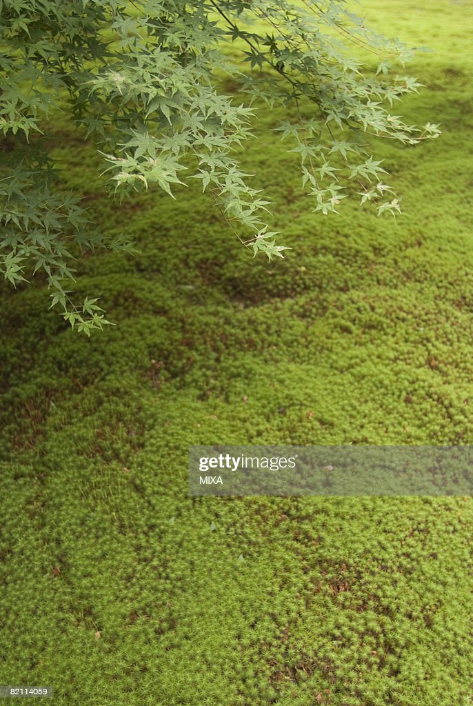 moss garden at sanzenin temple kyoto japan stock photo getty images. Black Bedroom Furniture Sets. Home Design Ideas
