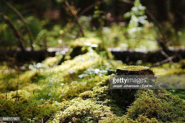 Moss Growing On Tree Stump