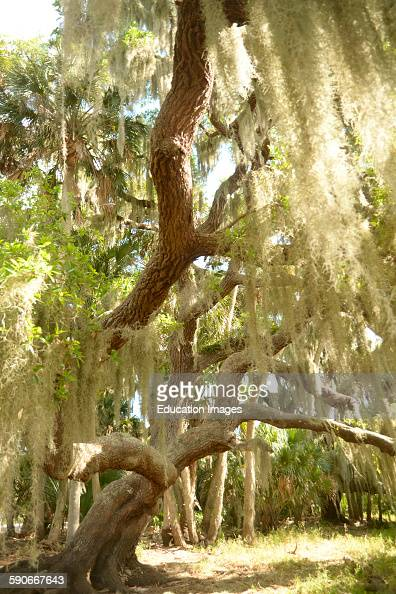 Moss hangs from tree at the Mayaka River State Park in Sarasota Florida