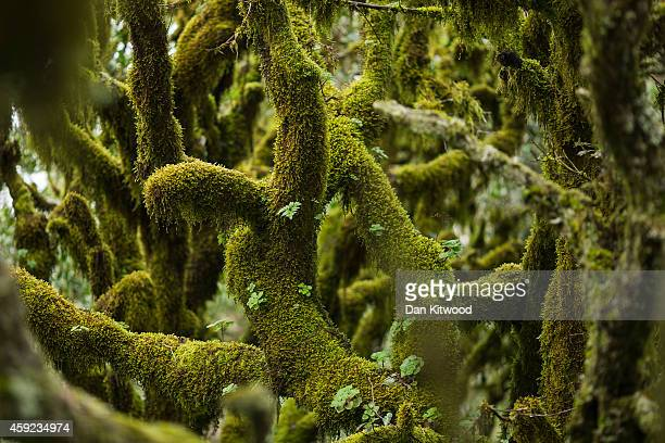 Moss hangs on Laurel Trees in the Garajonay National Park on November 13 2014 in La Gomera Canary Island Spain The Garajonay park was declared a...
