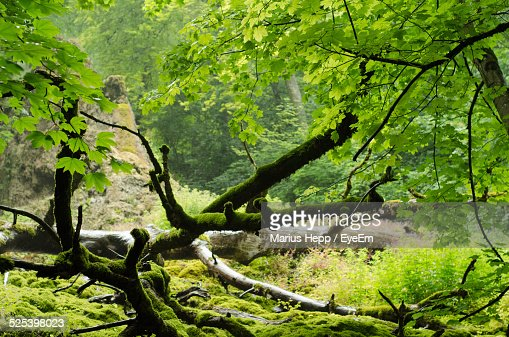 Moss On Fallen Trees In A Forest