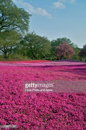 Moss phlox flower field