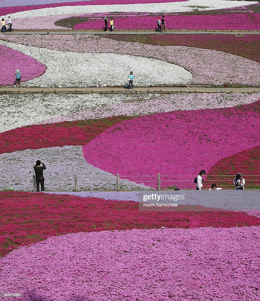 Moss phlox flowers are seen in full bloom in Hitsujiyama Park on May 1,2008 in Chichibu, Saitama Prefecture, Japan. Over 400,000 pink, white and purple 'Moss Phlox' bloom in approximately 16,500 square meters.