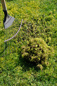Problem lawn moss being removed from the grass with a spring tine rake.