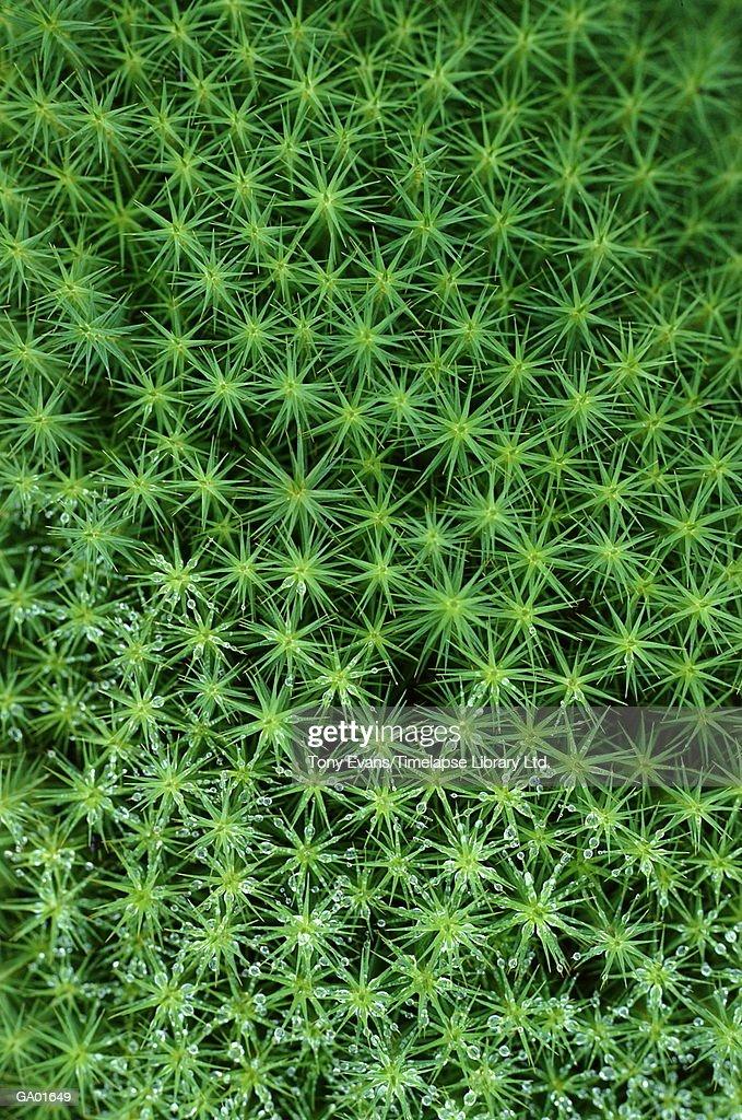 Moss (Polutriclium commune) : Stock Photo