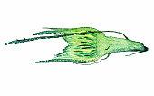 Light photomicrograph of Moss protonemata whole mount seen through microscope