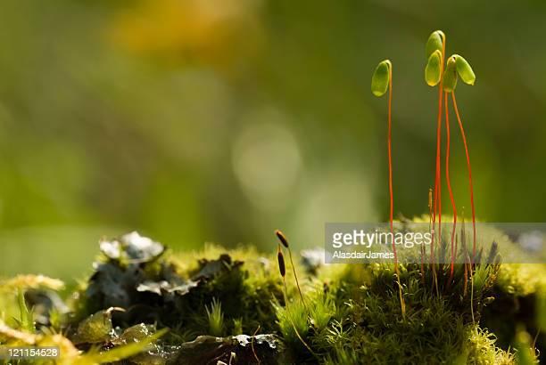 Moss Spore Kapseln