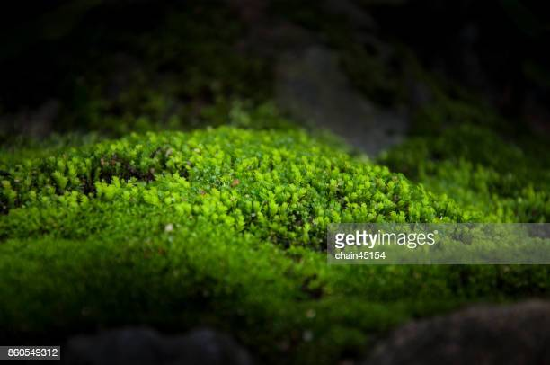 moss with sunshine in the forrest background. green world concept.