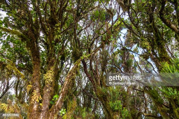 Moss-covered laurel trees
