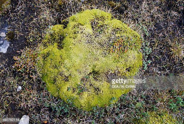 Mosses and lichens tundra Iceland