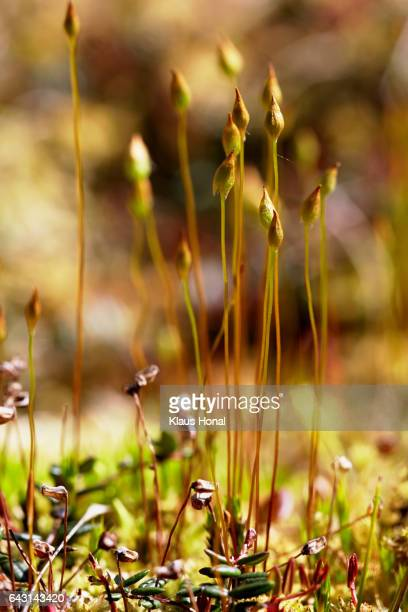 Mosses in moory landscape - Bavaria/Germany