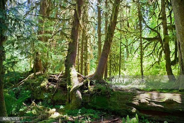 Mossy green Hoh rainforest, Washington
