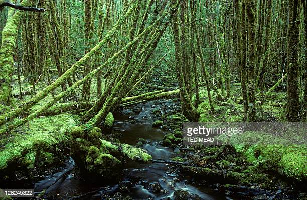A mossy lined rainforested stream in the Southwest National Park Tasmania Australia.