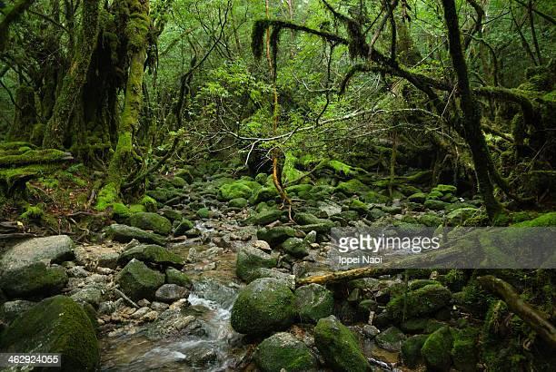 Mossy rainforest stream, Yakushima, Japan