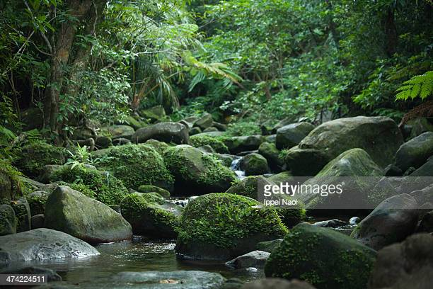 Mossy stream in tropical rainforest, Iriomote