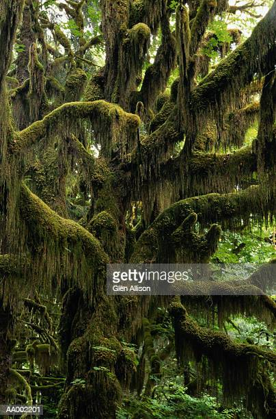 Mossy Tree in the Hoh Rain Forest