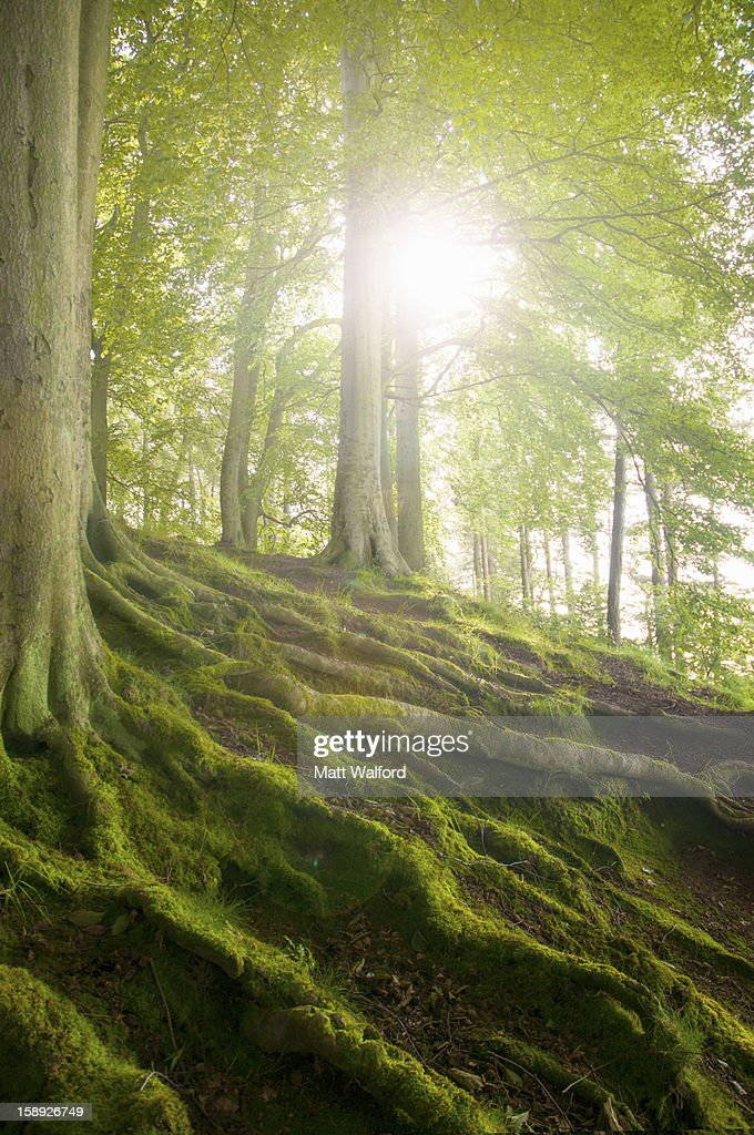Mossy tree roots on forest hillside : Stock Photo