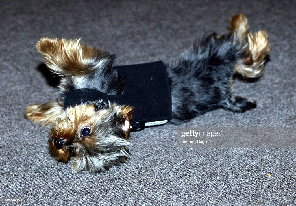 Motek during Lorraine Schwartz, Jewelry Maker for Diddy and Beyonce, Celebrates the 1st Birthday of Her Dog Motek at SoHo Grand Hotel in New York City, New York, United States.