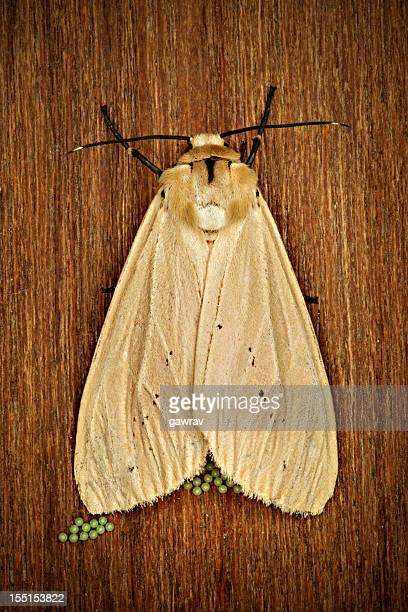 Moth laying eggs on wood