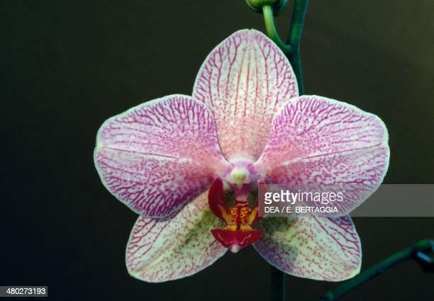Moth Orchid Orchidaceae
