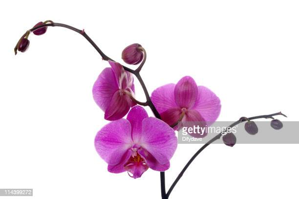 Moth Orchid Phalaenopsis Plant And Flowers
