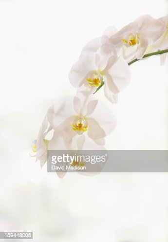Moth orchid (phalaenopsis) : Stock Photo