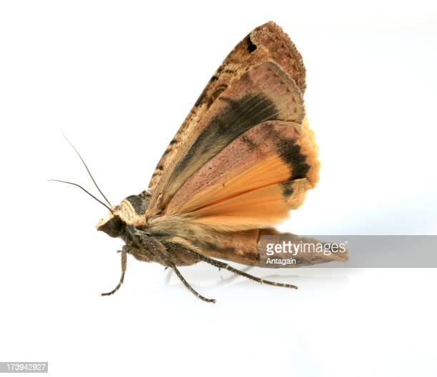 Papillon de nuit photos et images de collection getty images - Papillon de nuit dangereux ...