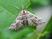 Little brown moth