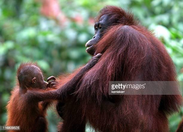 Mother & Baby Orang-Utan