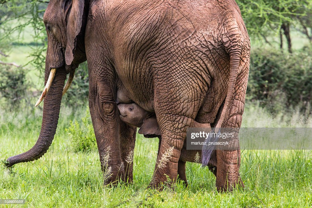 Mother and baby african elephants walking in savannah : Stock Photo