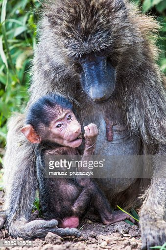 Mother and baby baboon,in the Tarangire National Park, Tanzania : Stock Photo