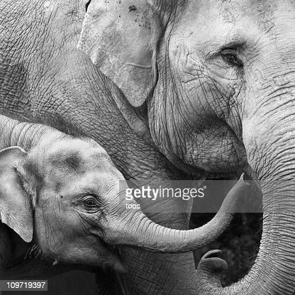 Mother and Baby Elephant - Close-up : Stock Photo