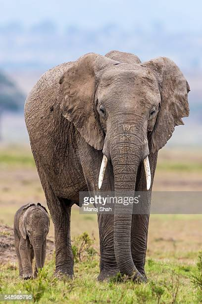 Mother and baby elephant grazing