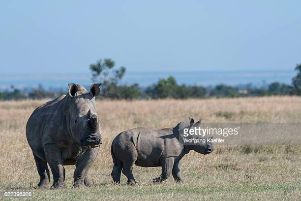 A mother and baby endangered white rhinoceros or squarelipped rhinoceros with the keratin of the horn removed to prevent poaching at the Ol Pejeta...