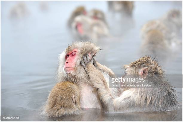 Mother and baby monkeys in water