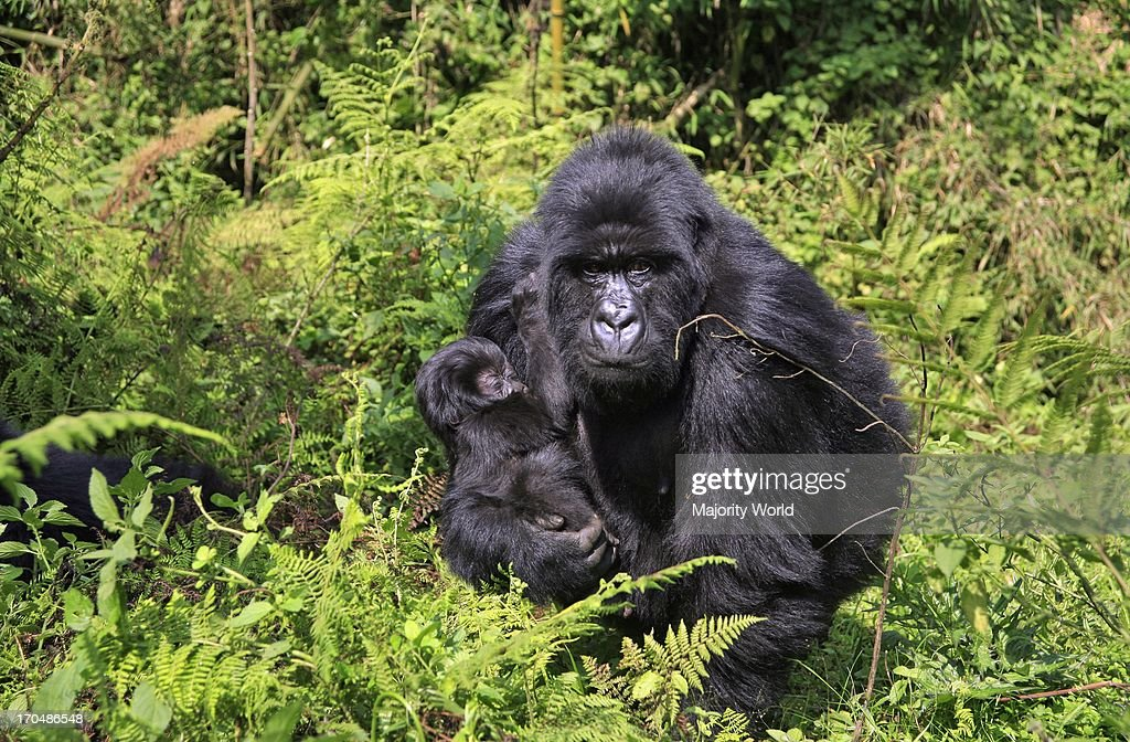 mother and baby mountain gorilla in Parc des Volcans near the town of Musanze previously known as Ruhengeri near the Virunga Mountains Rwanda