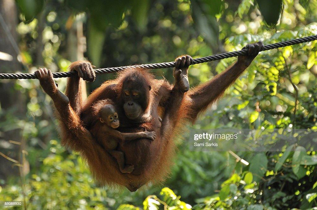 Mother and baby Orang Utan playing : Stock Photo
