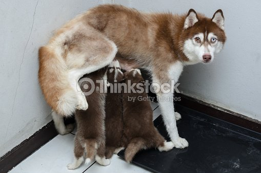 m re et b b chiot husky sib rien manger du lait photo thinkstock. Black Bedroom Furniture Sets. Home Design Ideas