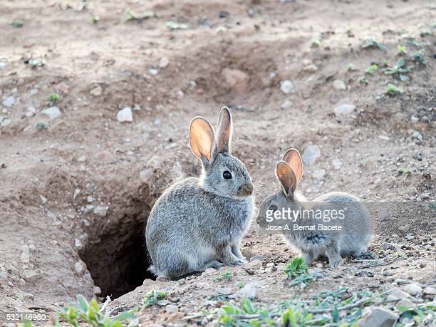 Mother and baby rabbit together next to its burrow ( Species Oryctolagus cuniculus.)
