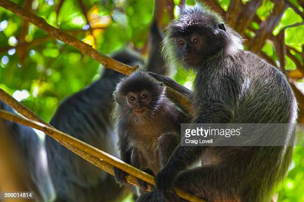 A mother and baby SILVER BACKED LEAF MONKEY or SILVERY LUTUNG in BAKO NATIONAL PARK which is located in SARAWAK - BORNEO, MALAYSIA