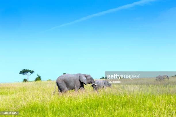 Mother and calf elephant grazing together